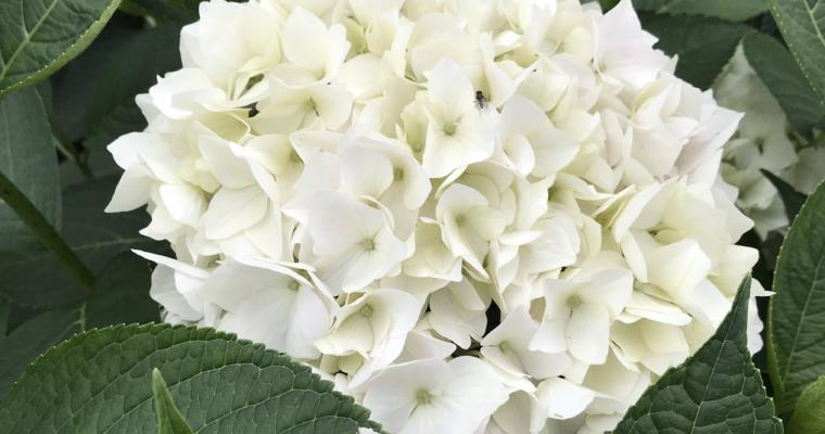 Een prachtige witte hortensia